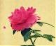 الصورة الرمزية لـ Tulip