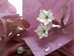 الصورة الرمزية لـ إكليل الورد